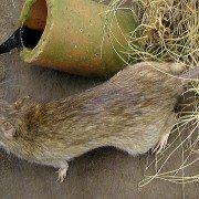 Wanderratte Rattus-norvegicus
