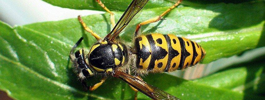 Deutsche Wespe Paravespula Germania Weibchen