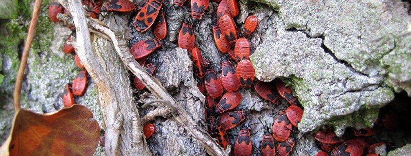 Feuerwanze Phyrrocoris apterus