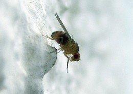Fruchtfliege Drosophila