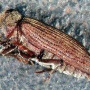 Gemeiner Nagekäfer Anobium punctatum