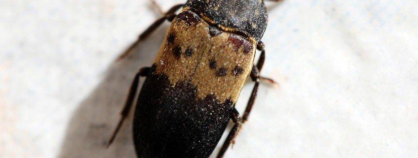 Gemeiner Speckkäfer Derbstes lardarius