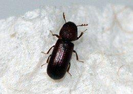 Getreidekapuziner Käfer