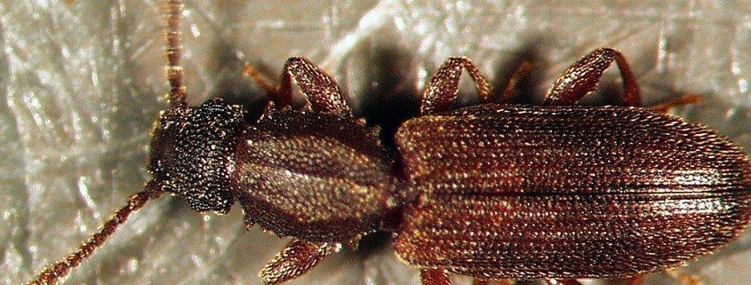 Getreideplattkäfer Oryzaephilus surinamensis