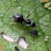 Schwarzgraue Wegameise Lasius niger